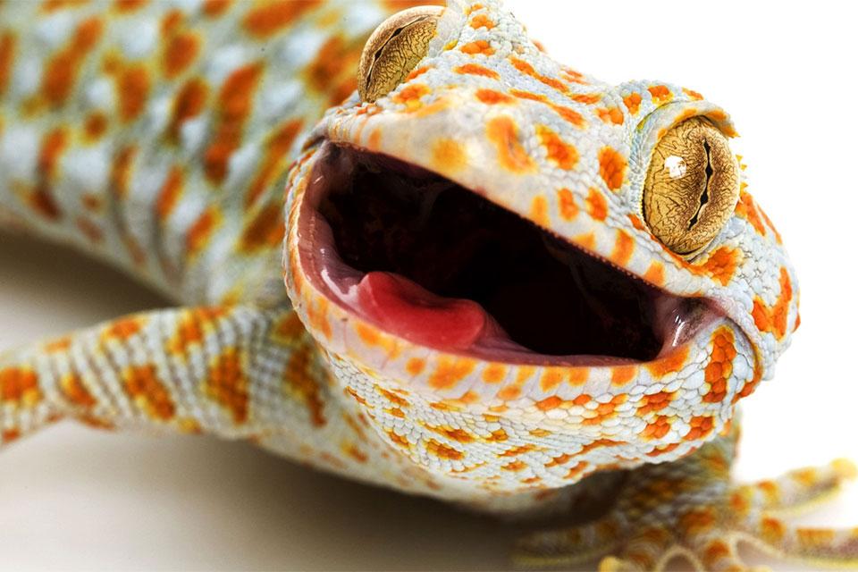 """Cliquez sur l'image pour lire l'article """"Les geckos"""" sur www.safarine.com"""